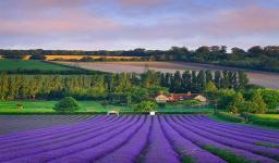 Lavender-Field--Eynsford--England